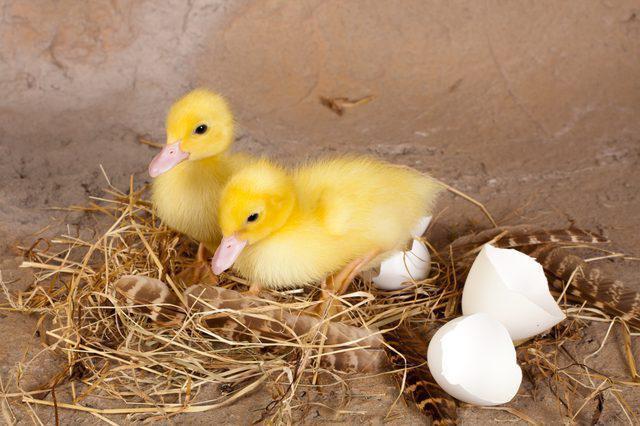 Инкубация утиных яиц режим инкубации таблица