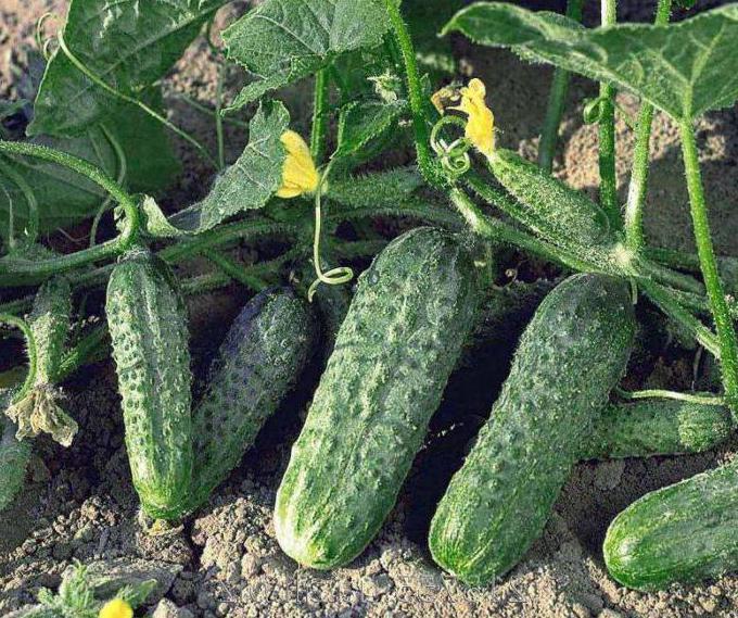 Огурцы криспина f1 выращивание 71