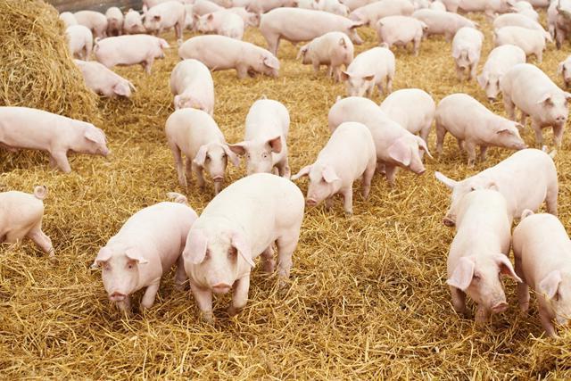 Саркоптоз свиней