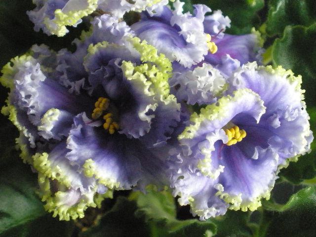 Фиалка Reigning Beauty: фото и описание