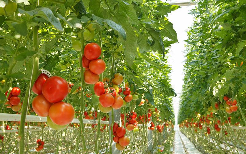 Как заработать на выращивание помидор 610