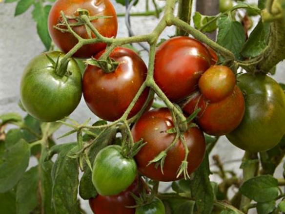 Выращивание помидор черный принц 46