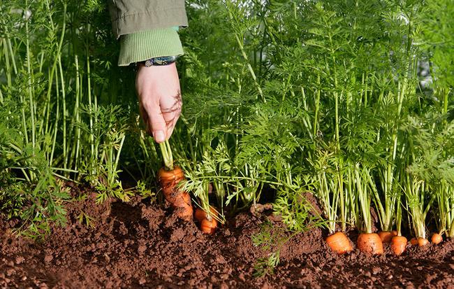 Когда в этом году сажать морковь 677