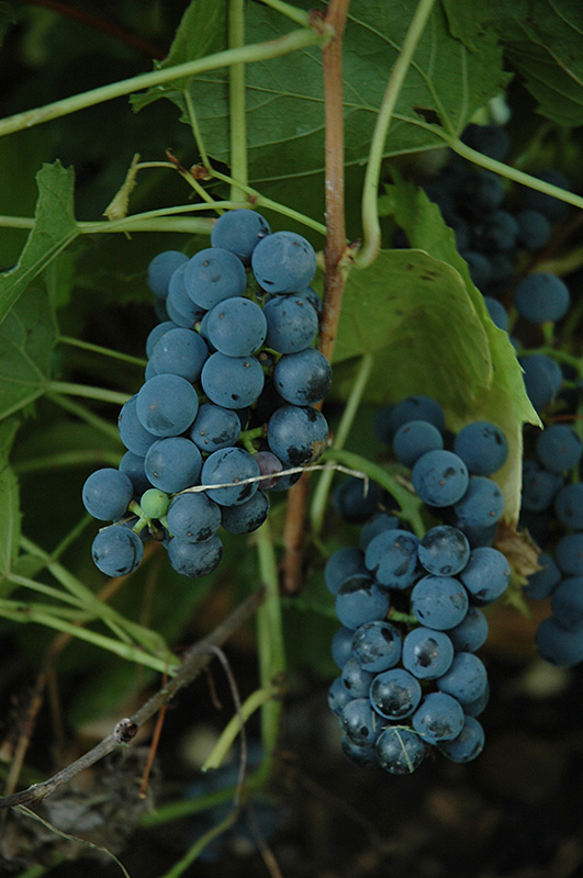 Вэлиант виноград описание