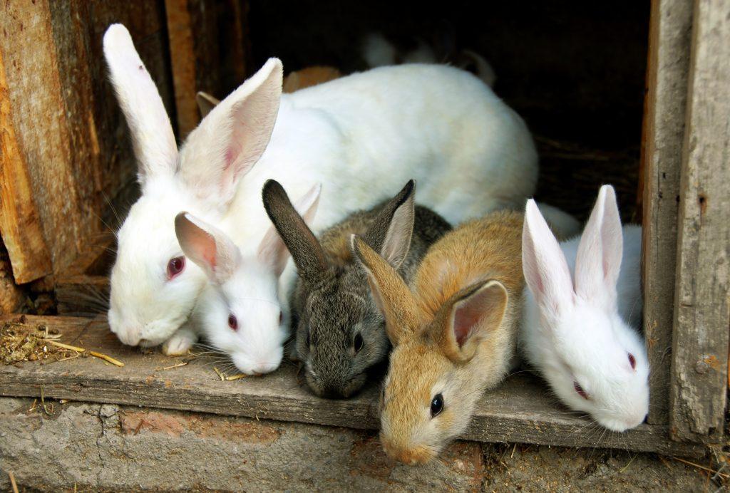 Инфекционный стоматит у кроликов лечение