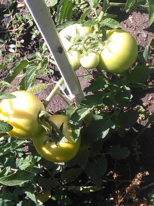 Сорт томатов Лонг Кипер