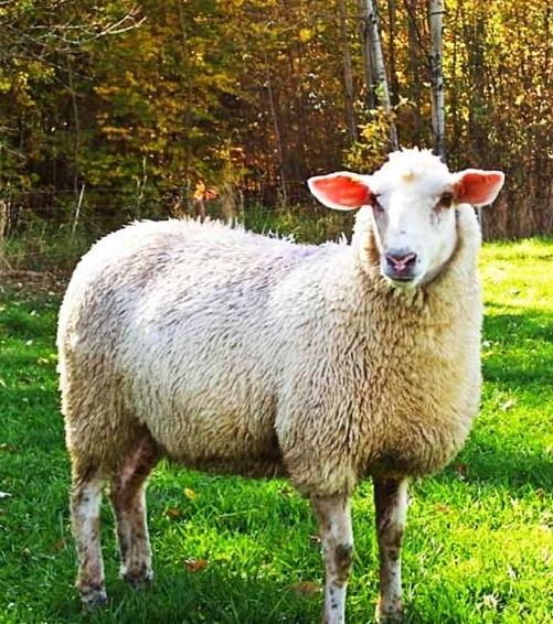 Порода овец прекос