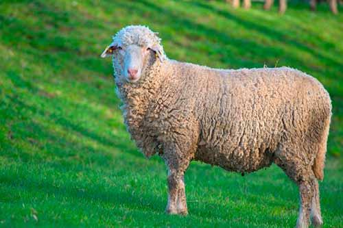 Описание породы овец прекос содержание