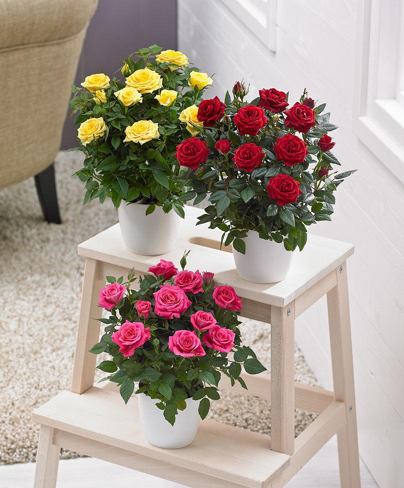 Комнатная роза опадают листья. Почему домашняя роза сбрасывает листья? У комнатной розы опадают листья: пути спасения