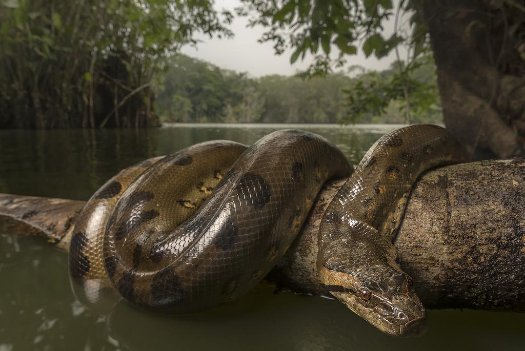 уже самая большая змея на планете фото лицах ввел четкую