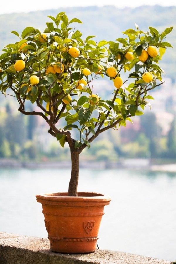 Грунт лимон
