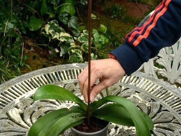 Тигровая орхидея: описание, особенности выращивания в домашних условиях