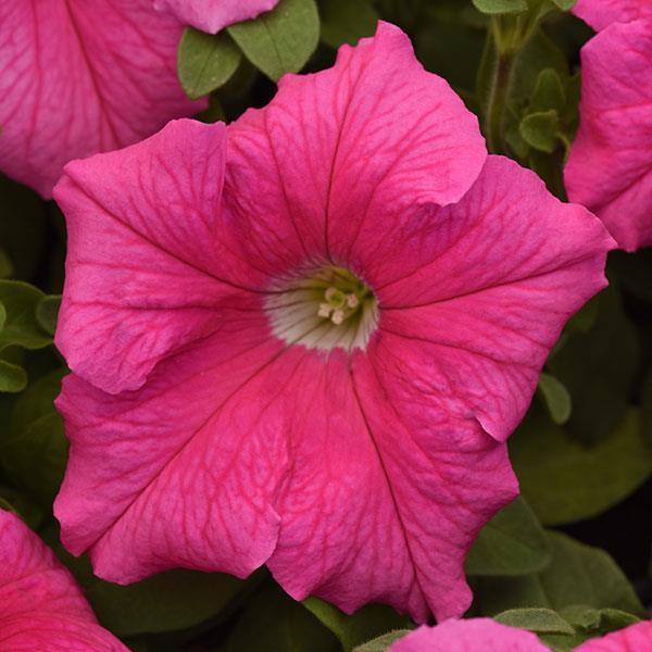 Суперкаскадная петуния: описание, фото, отзывы