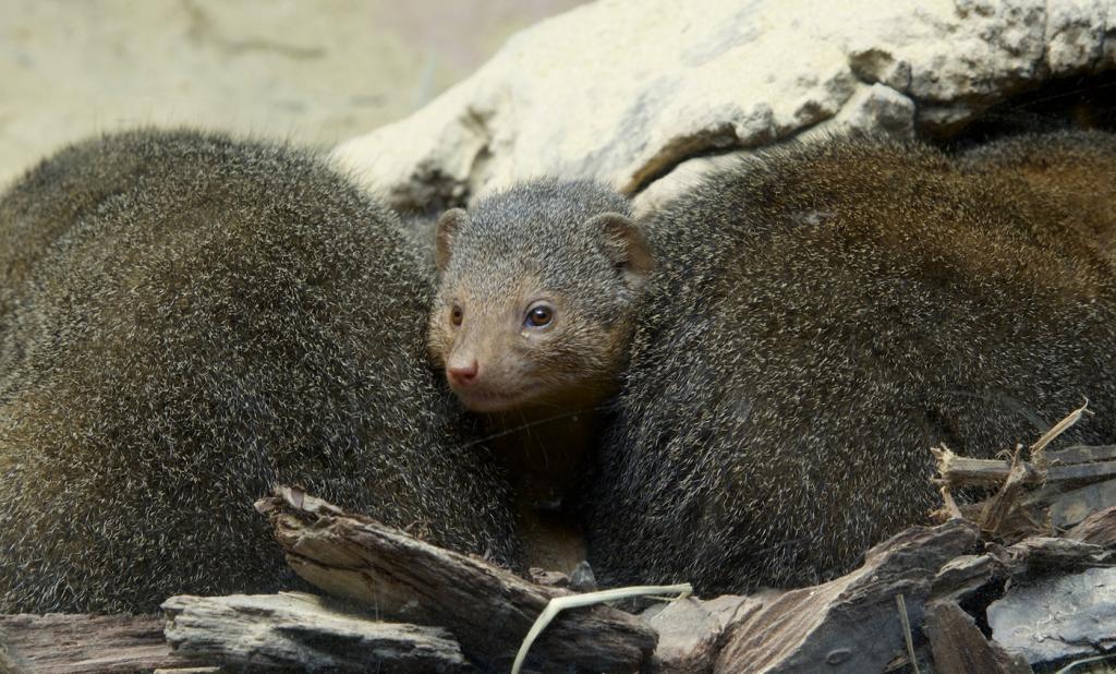 Что едят мангусты в дикой природе
