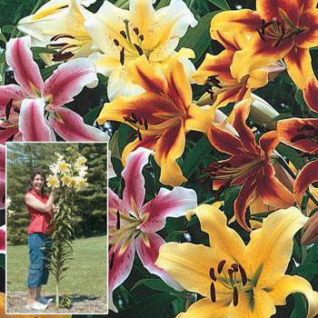 Высокорослые лилии посадка уход thumbnail