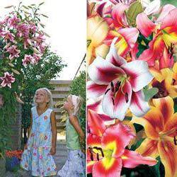 лилии деревья сорта