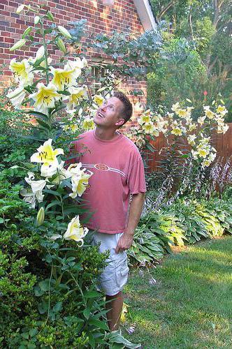 лилия цветок дерево