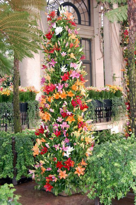 лилия дерево сорта фото