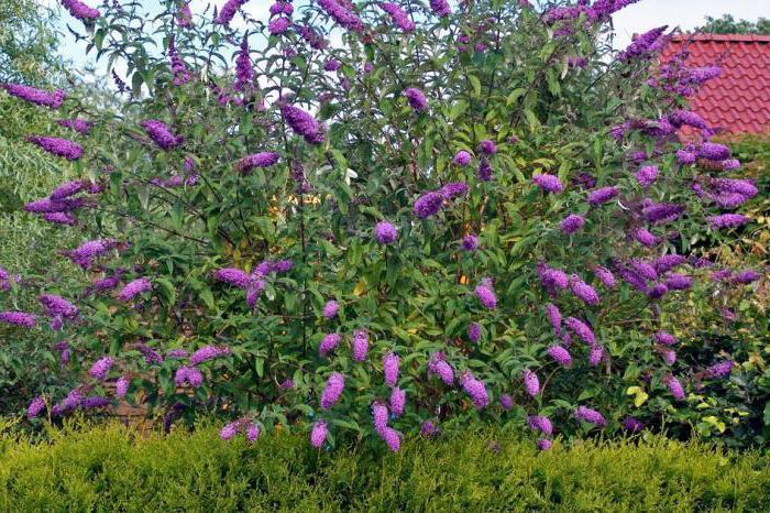 декоративные кустарники для сибири цветущие фото