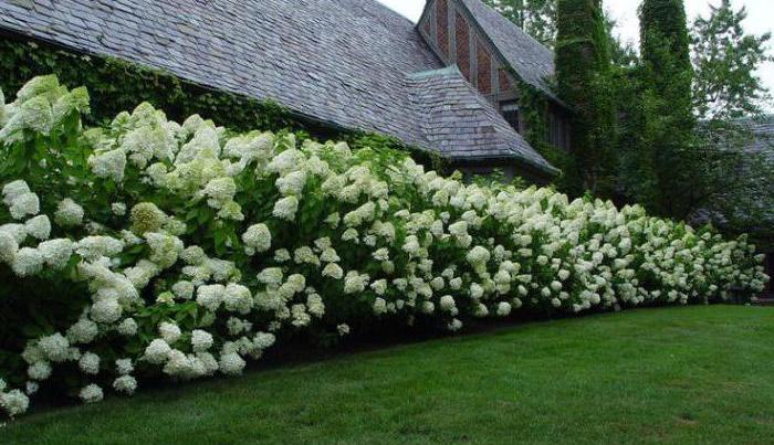 декоративные кустарники для сибири цветущие