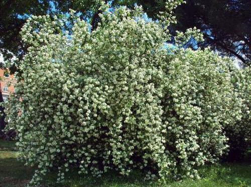 декоративные кустарники для сибири