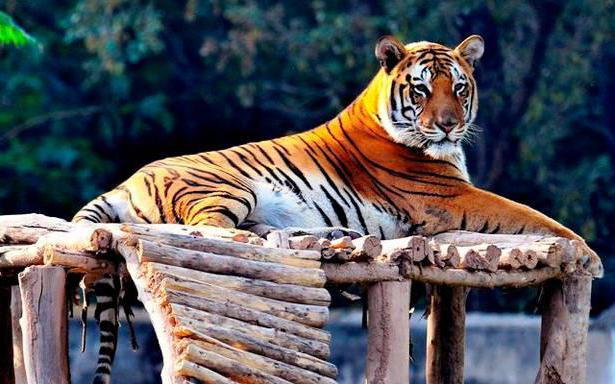 Секс у людей в год тигра