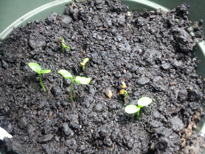 Алоэ Вера: уход и выращивание в домашних условиях