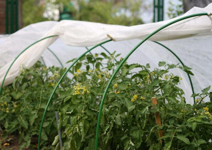 Как сажать помидоры под пленку 65