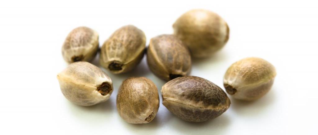 Семена конопли семенария влияние на организм человека конопли