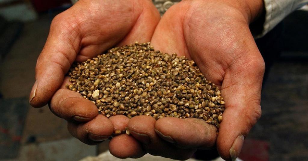 Сайты семян марихуаны как выращивать марихуану в открытом грунте