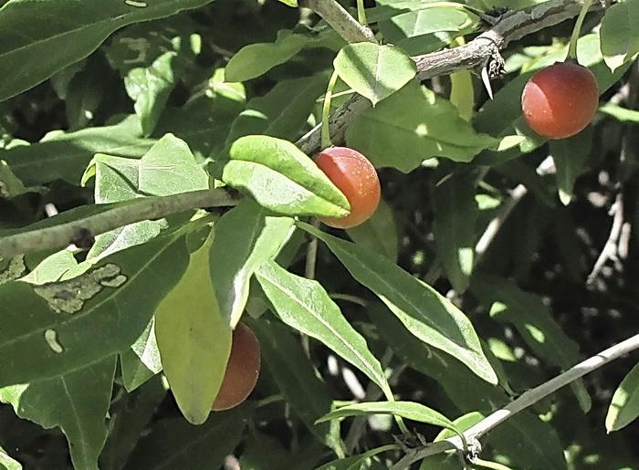 Принсепия китайская: описание, особенности ухода, выращивание и размножение, фото