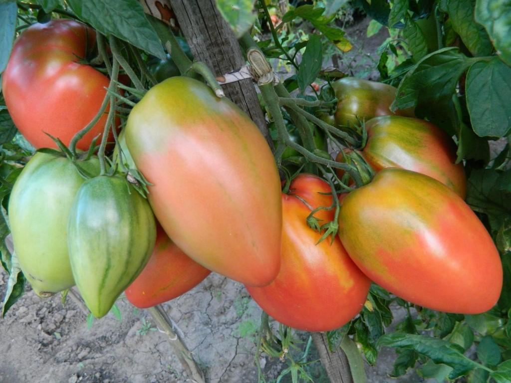 томаты Подсинское чудо