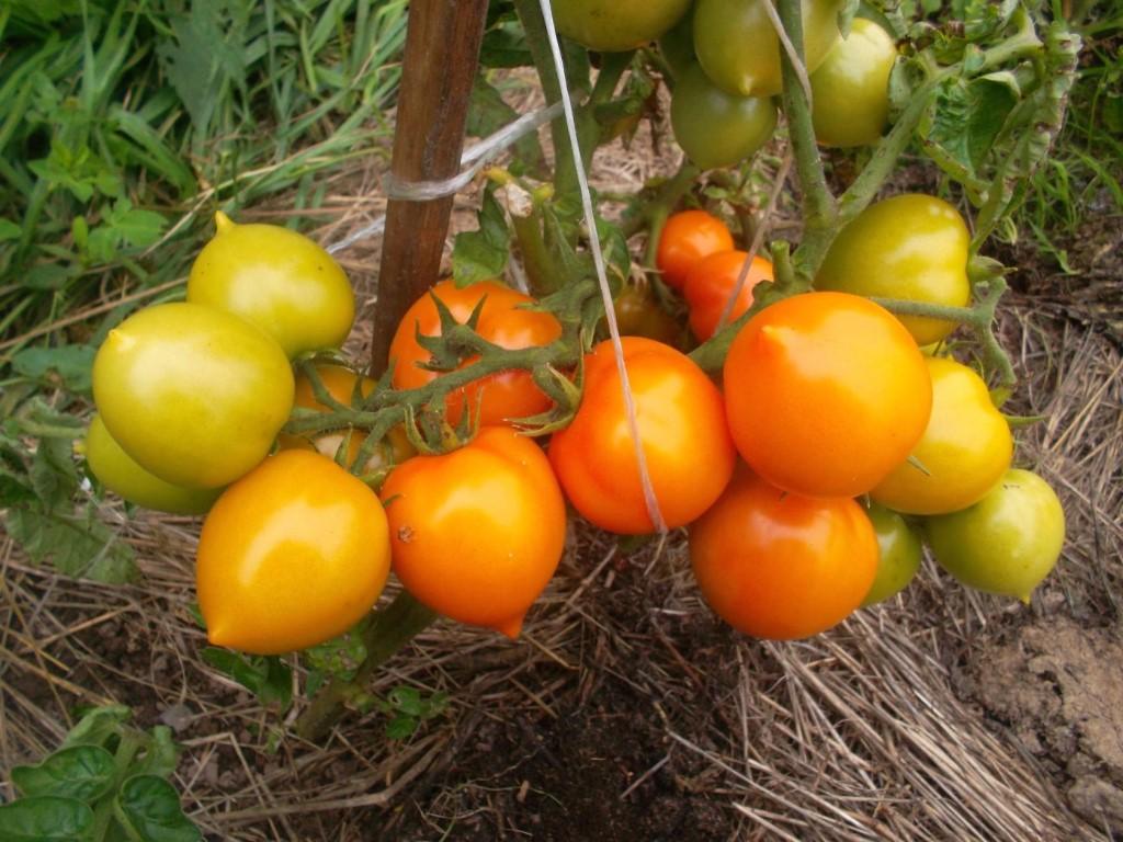 сорт томатов Утенок