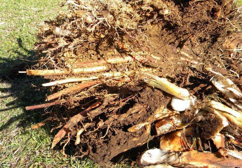 корень аралии применение