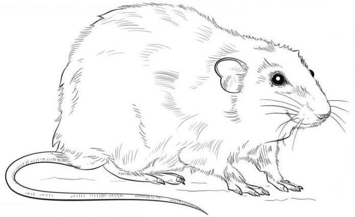 How to draw a rat in stages