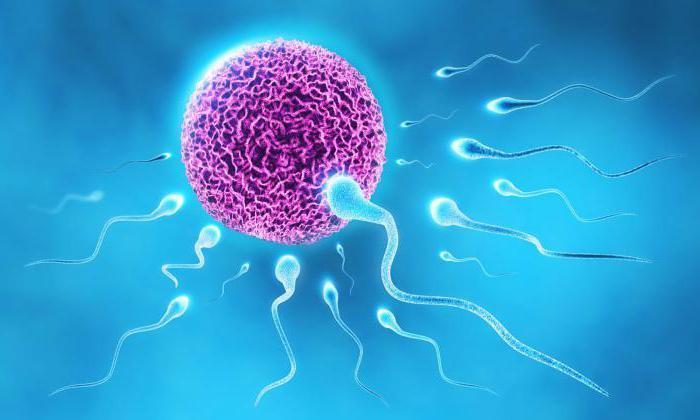 Что способствует спермотогенезу