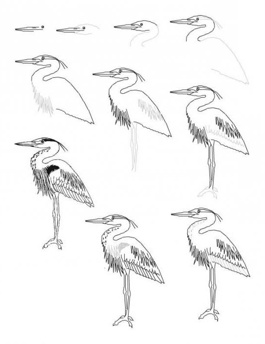 Art lesson: how to draw a Heron