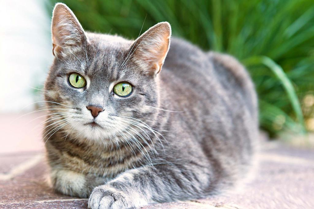 Подкожный клещ у кошек - лечение