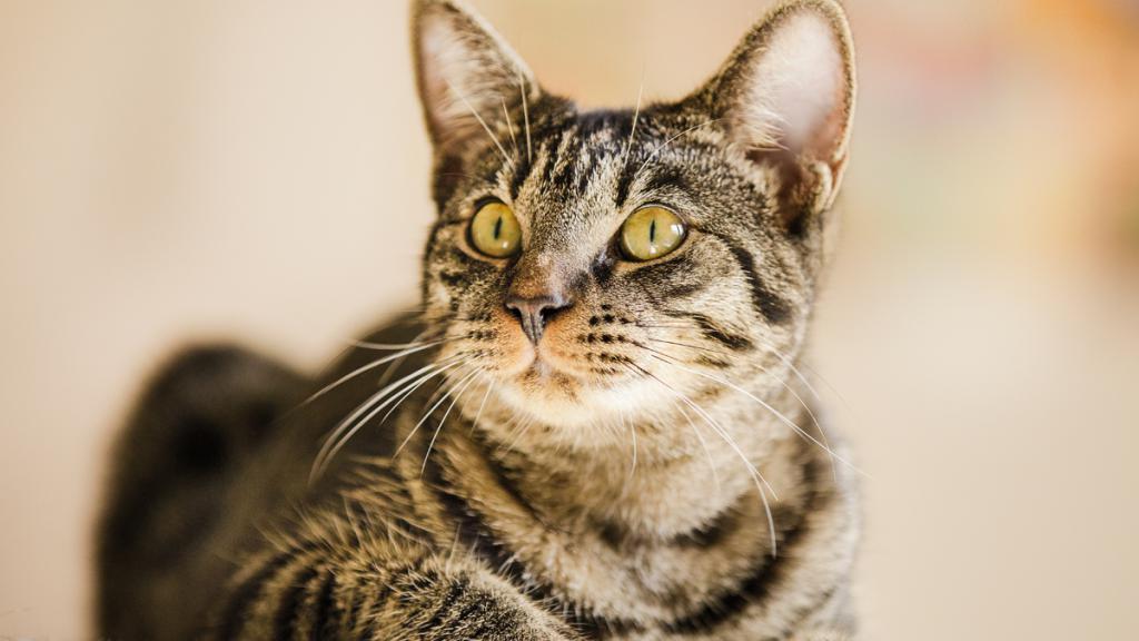 Демодекоз у кошек - симптомы