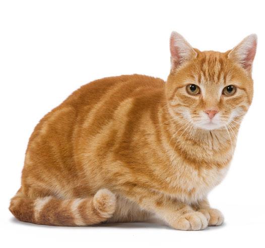 Нормальный вес кошки