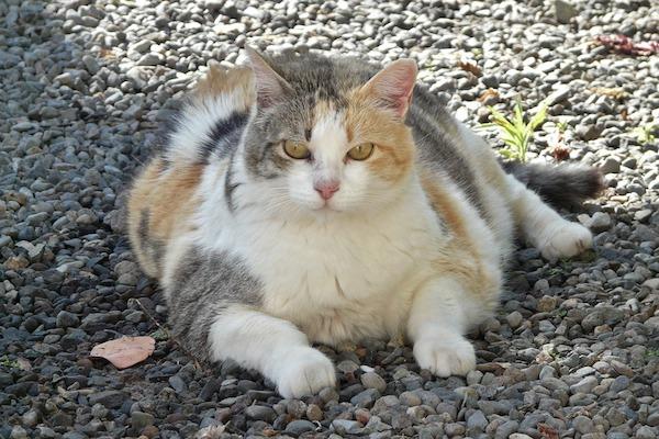 Избыточный вес у кошки