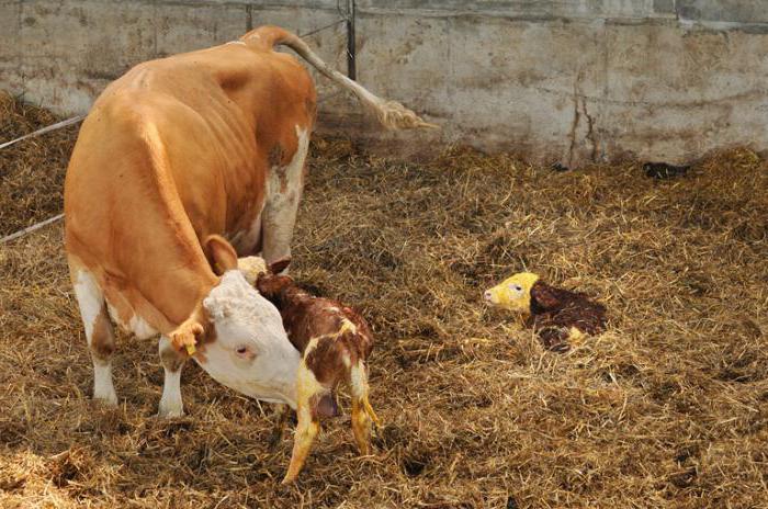 гнойно катаральный эндометрит у коров история болезни