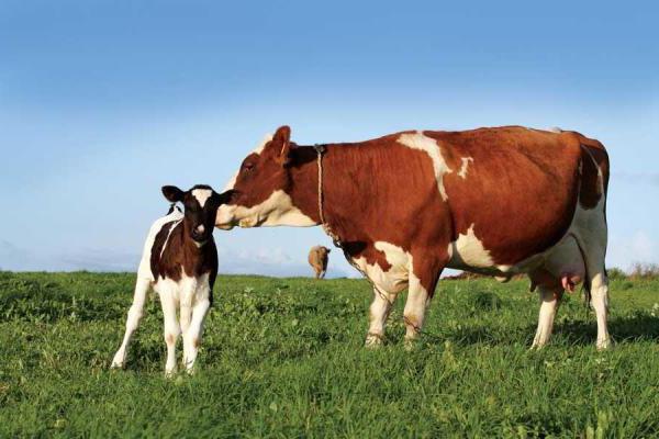 субклинический эндометрит у коров