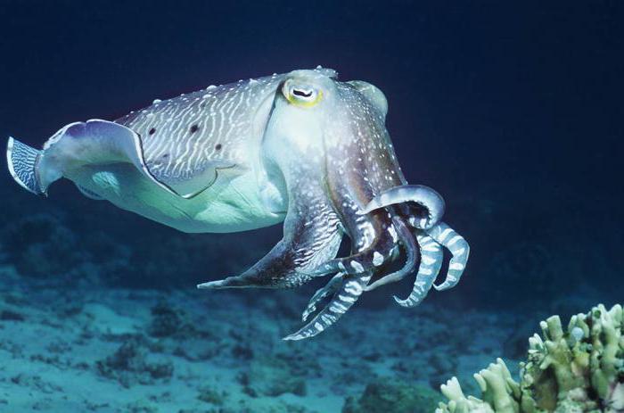 каракатица это моллюск