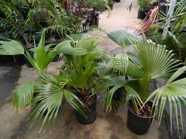 пальма ливистона уход в домашних условиях