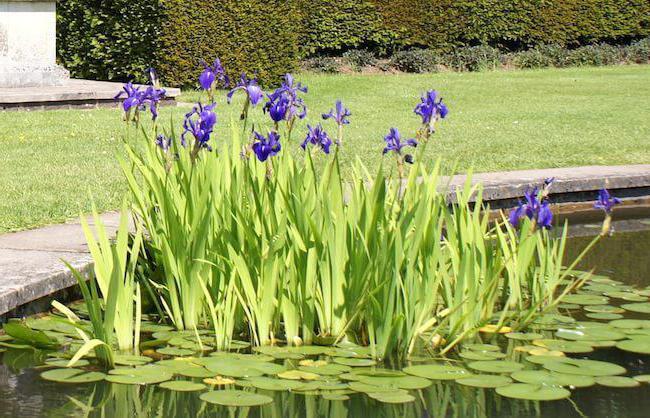 растение ирис болотный