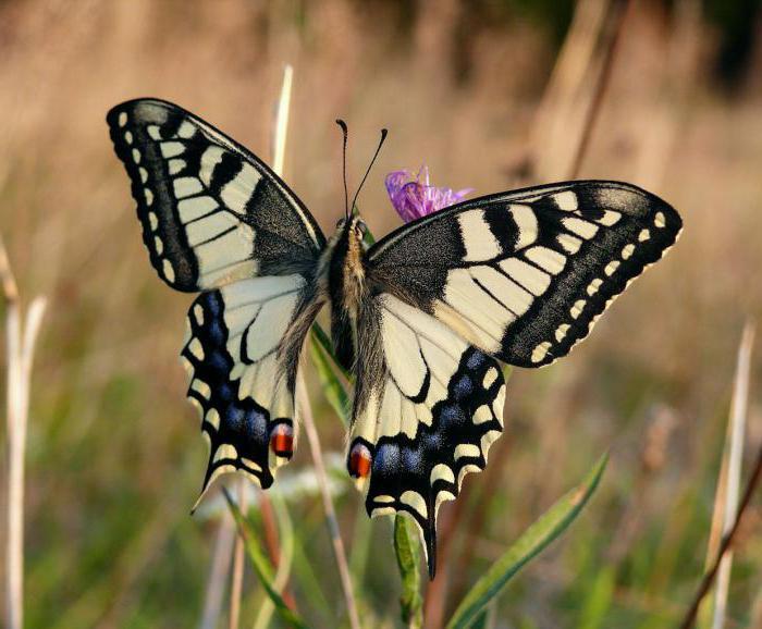 Описание бабочки махаон 25