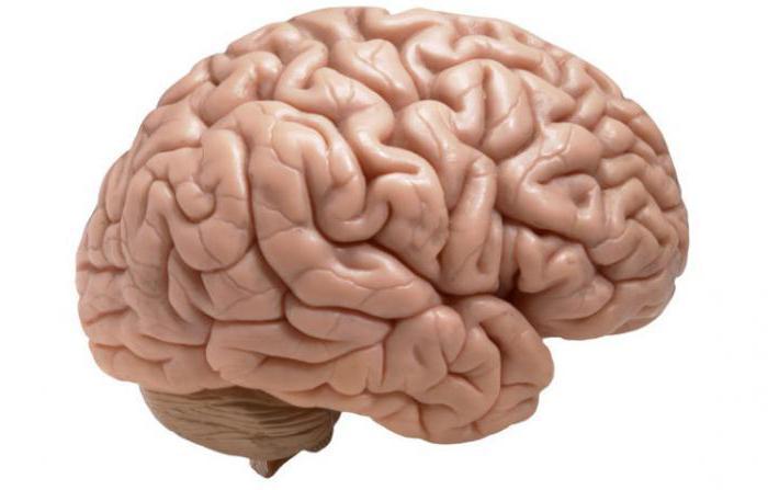 """различие мозга человека и дельÑ""""ина"""