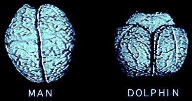 """мозг человека и дельÑ""""ина"""