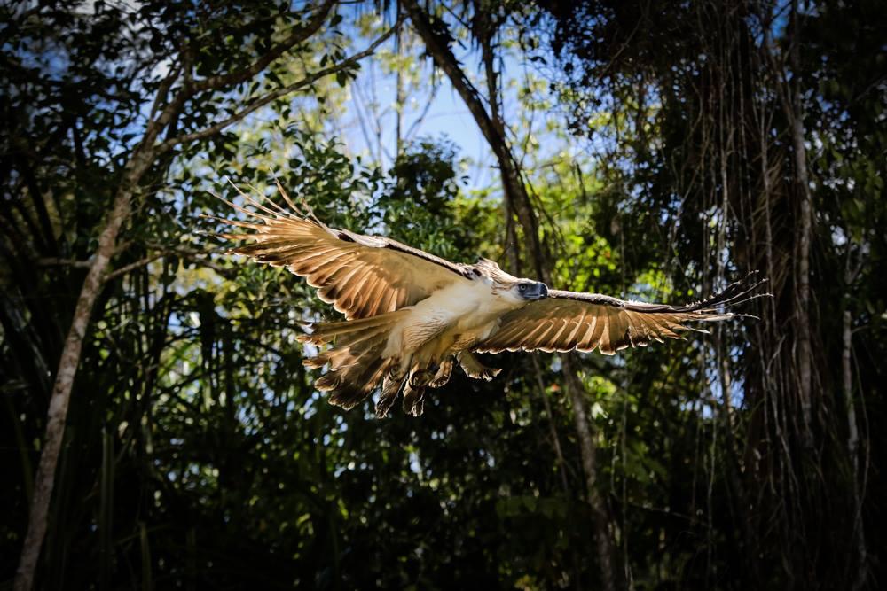 Филиппинский орел. Другие названия, описание с фото и ареал обитания